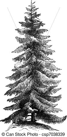 EPS Vectors of Norway Spruce or Picea abies vintage engraving.