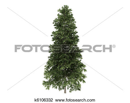 Clip Art of Spruce or Picea abies k6106332.