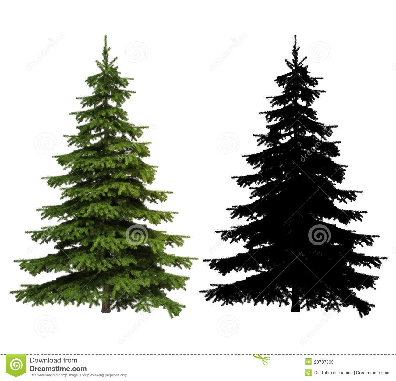Spruce Picea Stock Illustrations.