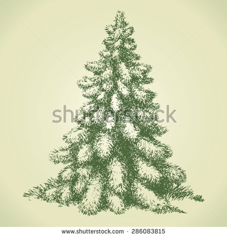 Picea Stock Vectors & Vector Clip Art.