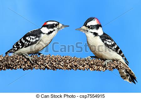 Stock Images of Downy Woodpeckers (Picoides pubescens) on a perch.