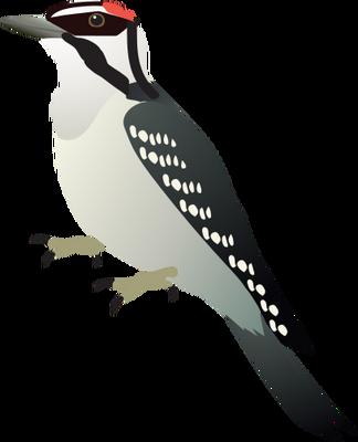 Picoides pubescens (Downy Woodpecker).
