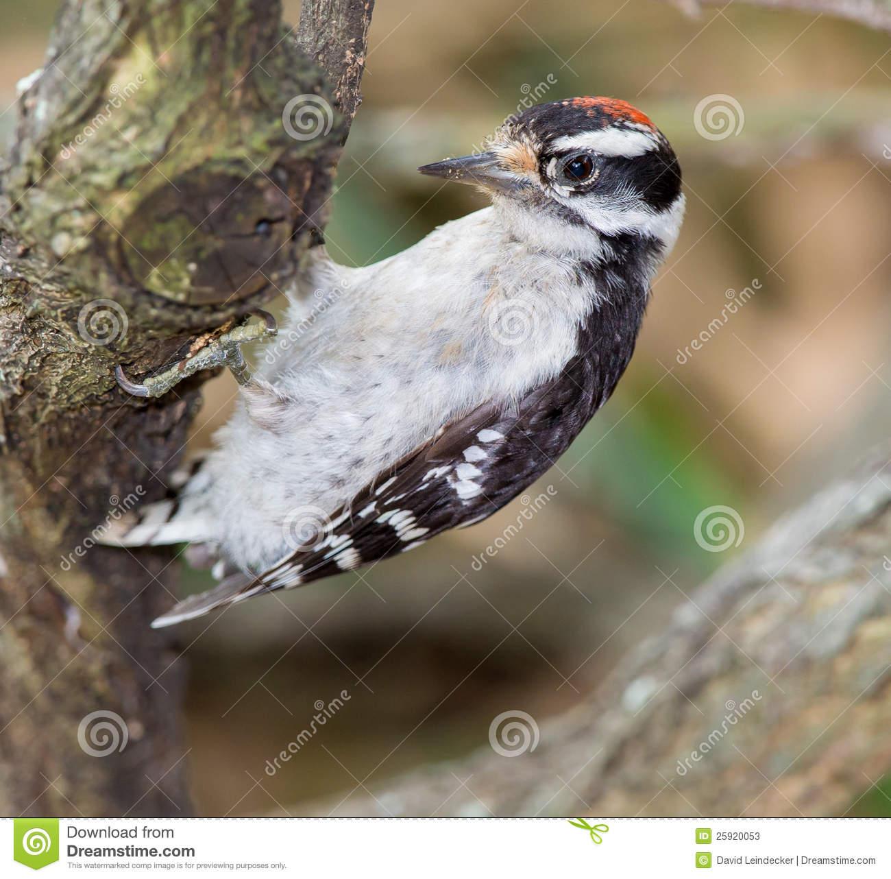 Immature Downy Woodpecker (picoides Pubescens) Stock Photos.