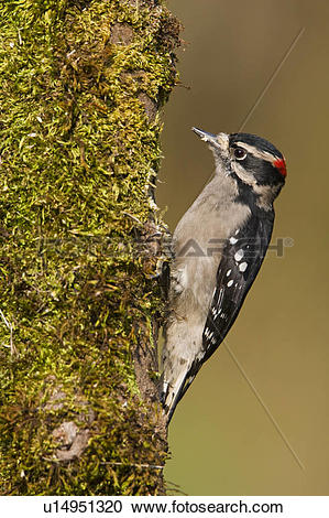 Stock Photography of A Downy woodpecker (Picoides pubescens) feeds.