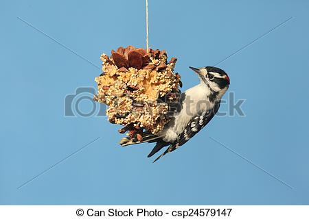 Stock Photo of Downy Woodpecker (Picoides pubescens) on a suet.