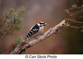 Stock Photo of Male Downy Woodpecker (picoides pubescens) on a.