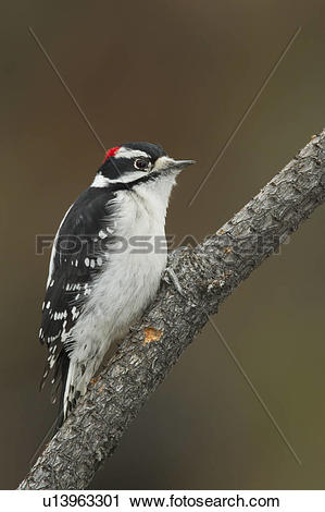 Stock Photography of Downy Woodpecker, Picoides pubescens.