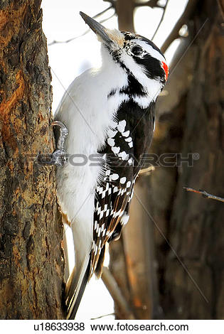 Pictures of Downy Woodpecker, Picoides pubescens, Ottawa, Ontario.