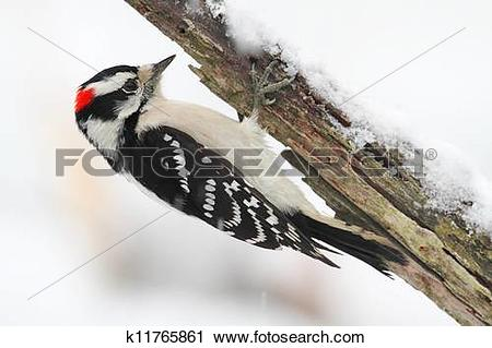 Stock Photography of Downy Woodpecker (picoides pubescens.