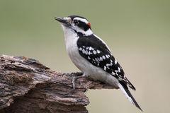 Downy Woodpecker (Picoides Pubescens) Stock Photo.
