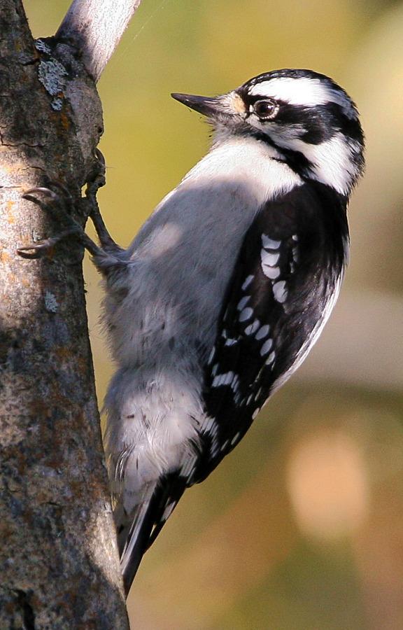 Downy Woodpecker Picoides pubescens.