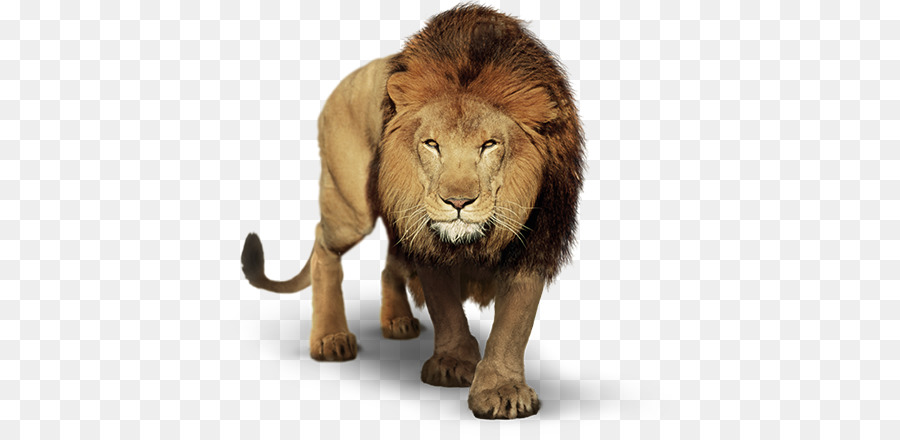 Lion Cartoon png download.