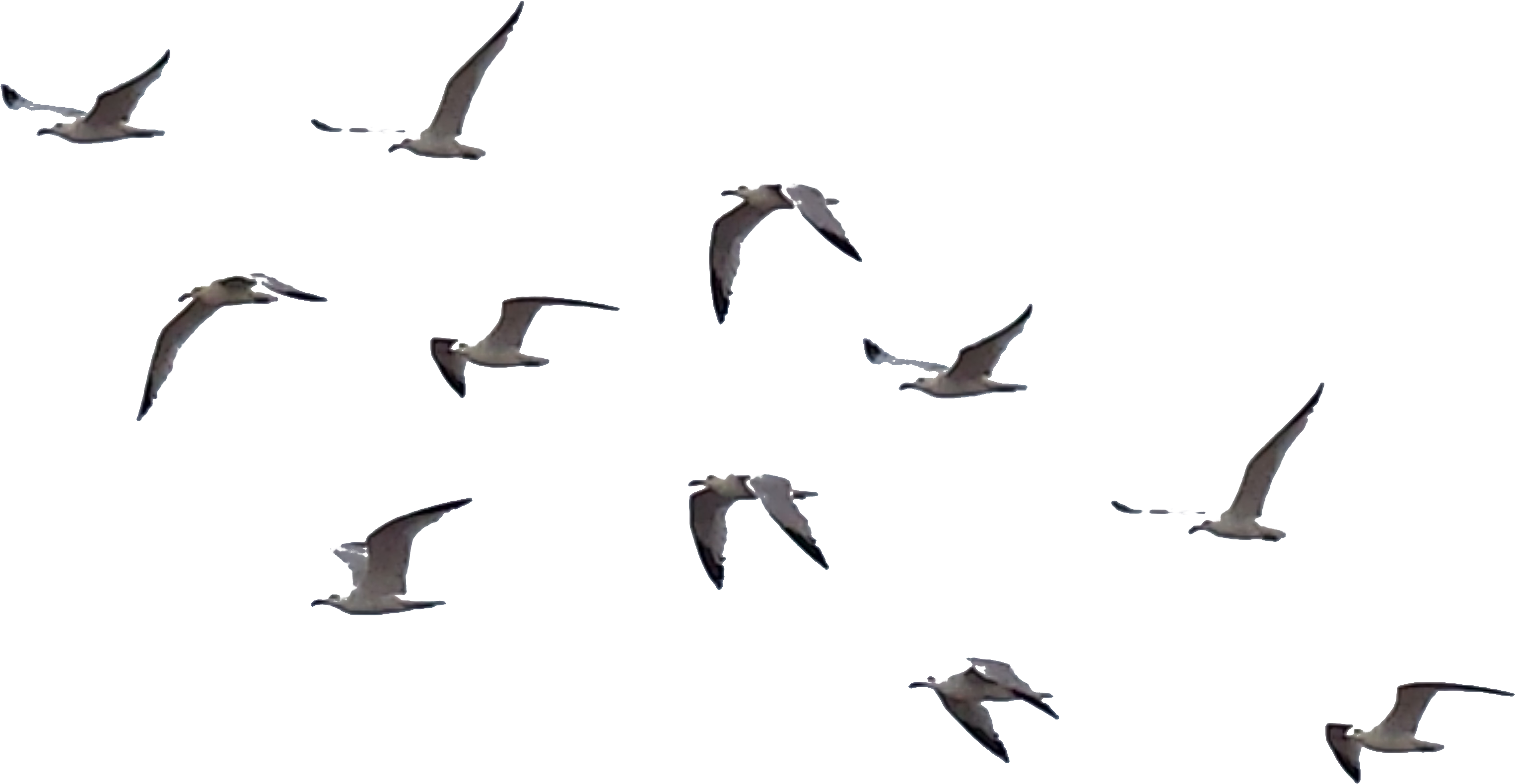 Flying Crows Clipart.