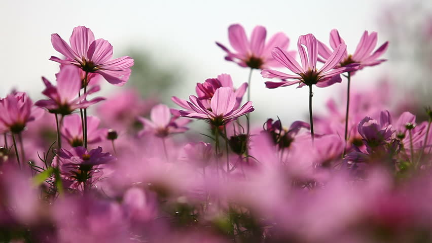 Flower Free Video Clips.