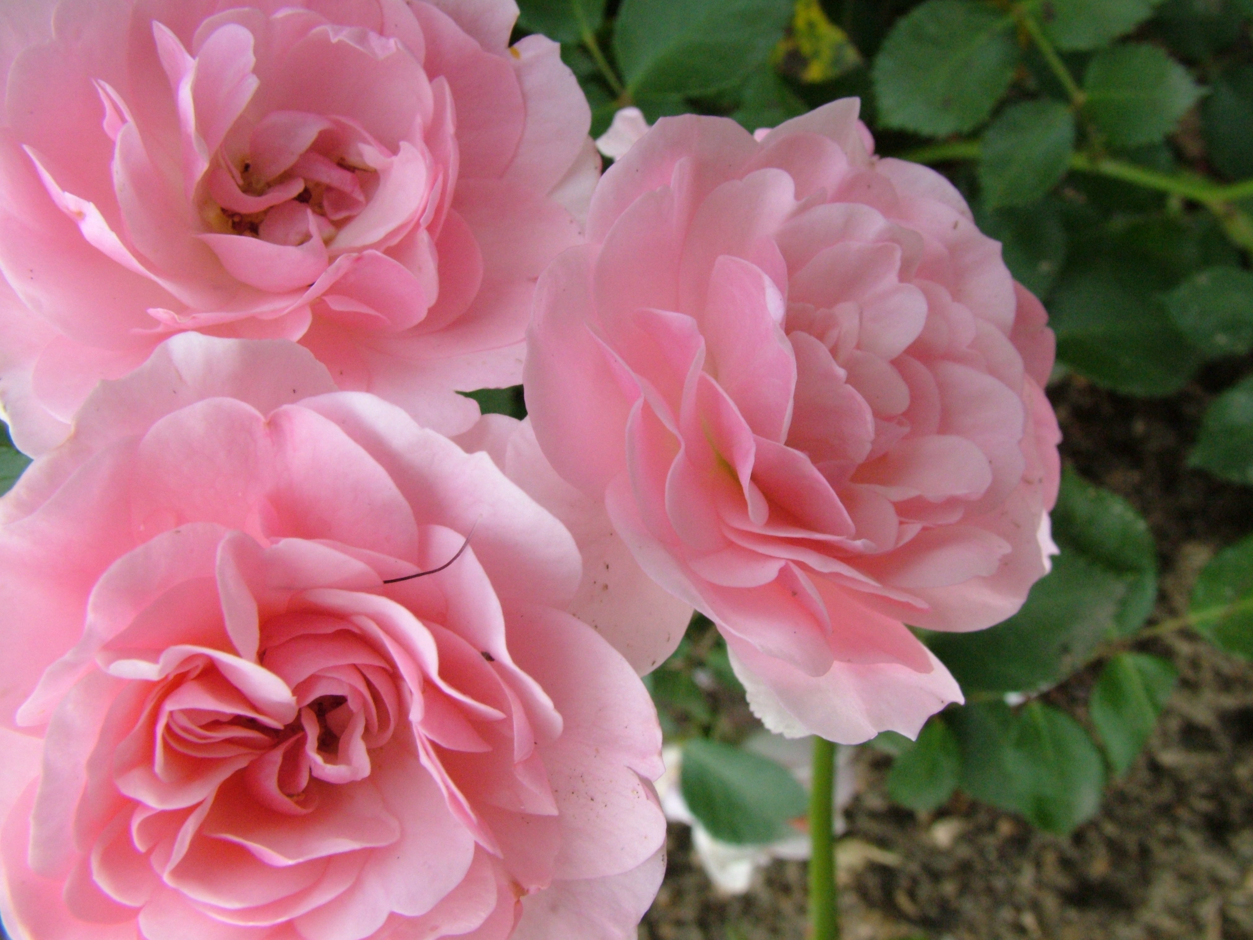 Free Download Rose Flowers Pictures.