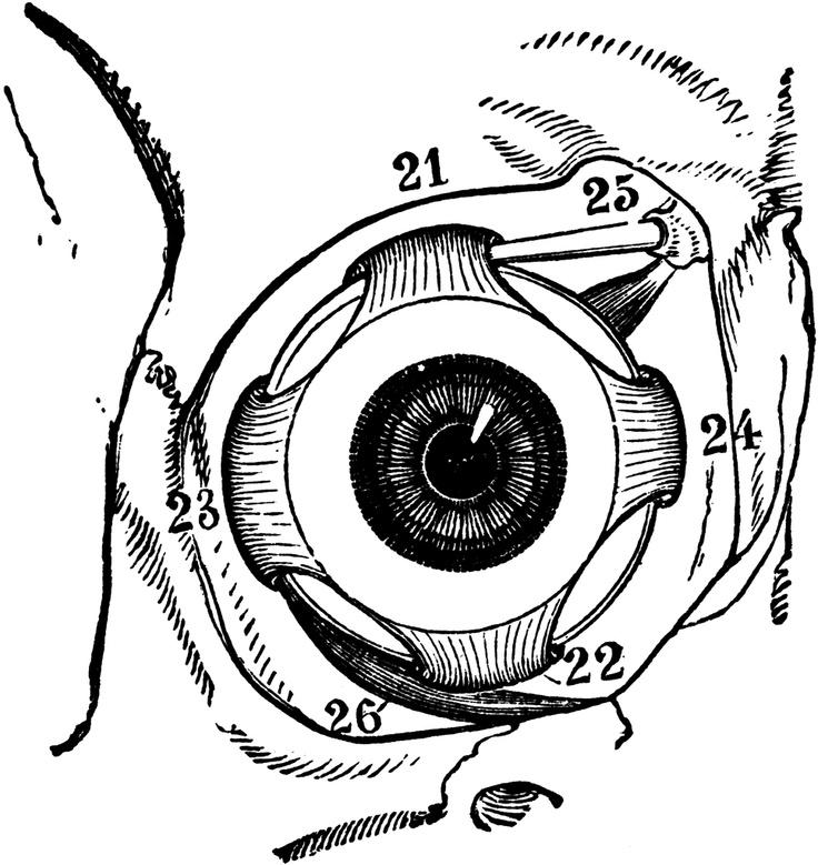 17 Best ideas about Eyeball Anatomy on Pinterest.