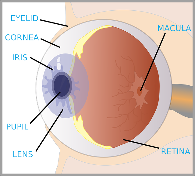 Picture Of The Eye Without Labels Clipart.