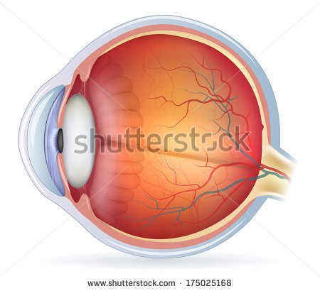 Picture Front Of The Eye Without Labels Clipart.