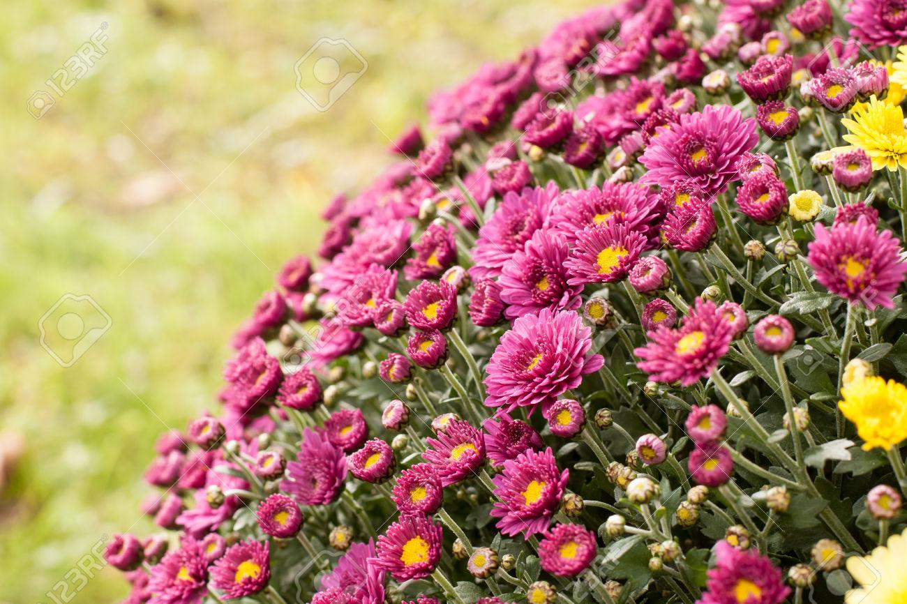 Purple Splendor  A Big Bunch Of Flowers With Beautiful Yellow.