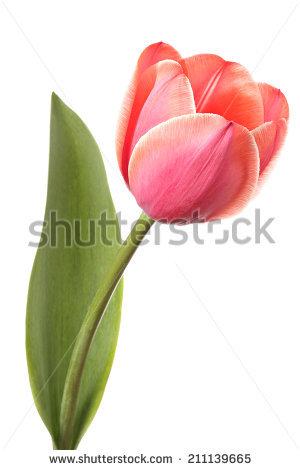 Tulip Single Fotografie, snímky pro členy zdarma a vektory.