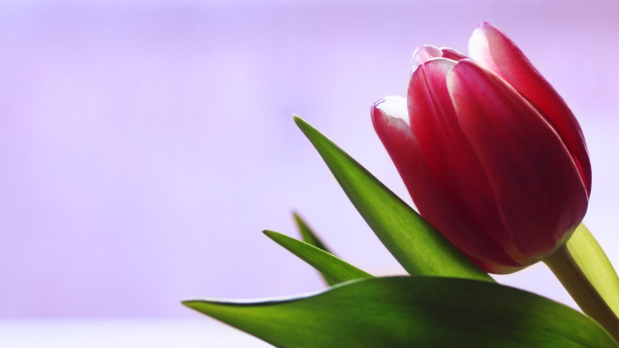 Picture Single Tulip Flower.