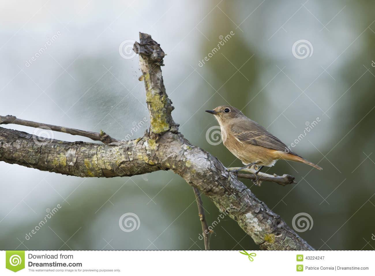 Pied Bushchat Bird Female In Nepal Stock Photo.