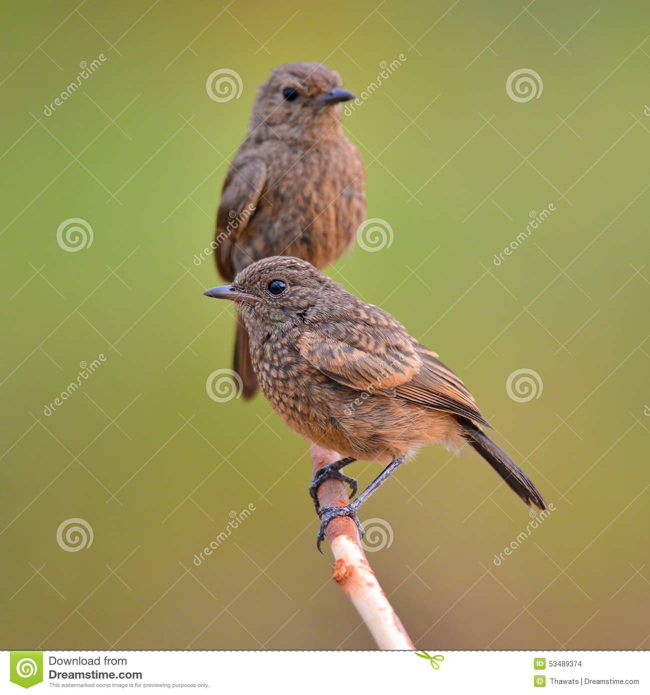 Pied Bushchat Bird Stock Photo.