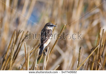 Grey Bushchat Stock Photos, Royalty.