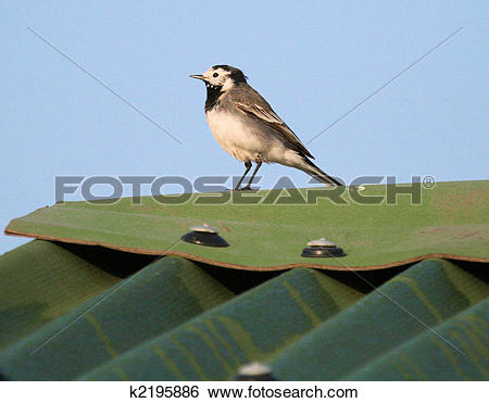 Stock Images of Pied Wagtail k2195886.
