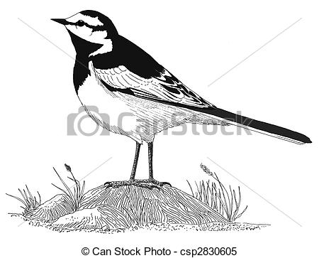 Stock Illustrations of White Wagtail.