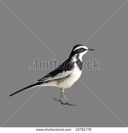 Pied Wagtail Stock Images, Royalty.