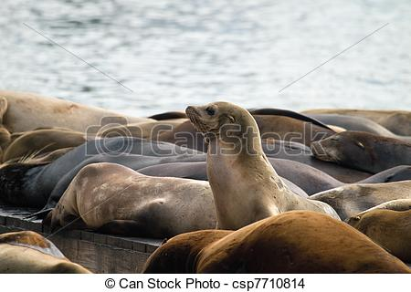 Stock Photo of Sea Lions Sunning on Barge at Pier 39 San Francisco.