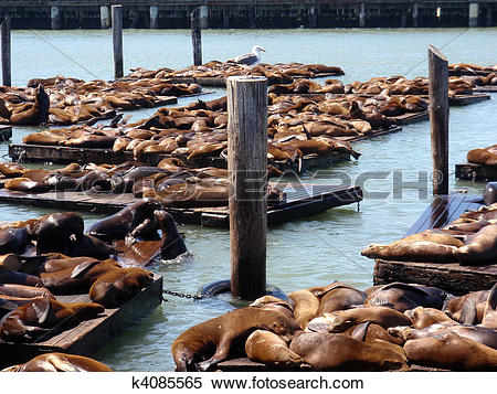 Stock Image of Bird watches over seals at Pier 39 k4085565.