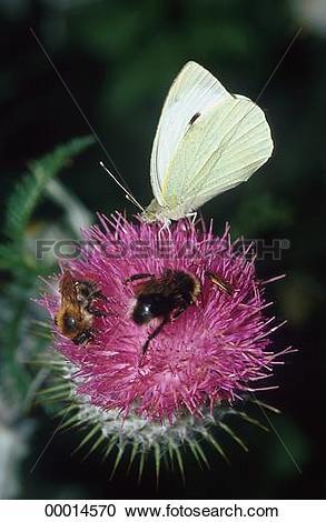 Stock Photography of Bombidae, Bombinae, Butterflies, Butterfly.