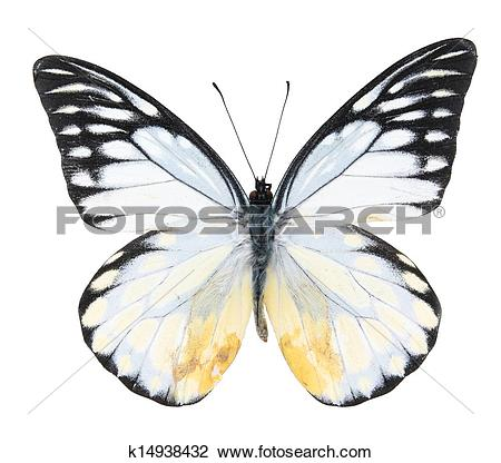 Stock Photo of Pieridae:Black and white butterfly k14938432.