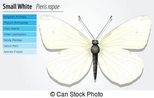 Pieris rapae Vector Clipart Royalty Free. 27 Pieris rapae clip art.