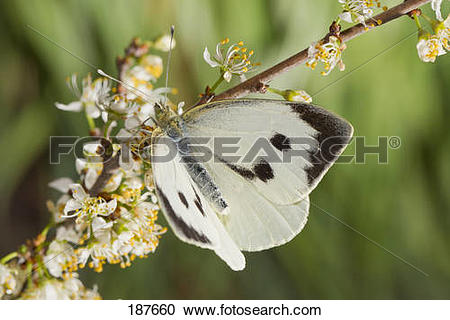 Stock Photography of Large White (Pieris rapae). Female on a.