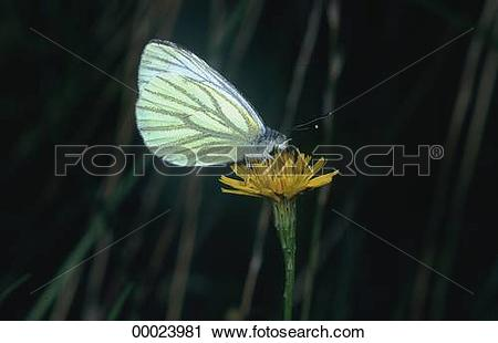 Stock Photography of Butterflies, Butterfly, Juniors, Pieridae.