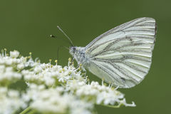 Green Veined White Butterfly (Pieris Napi) Royalty Free Stock.