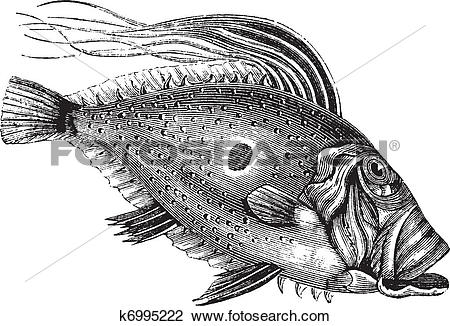 Clipart of John Dory or Saint Pierre Fish or Saint Peter Fish or.