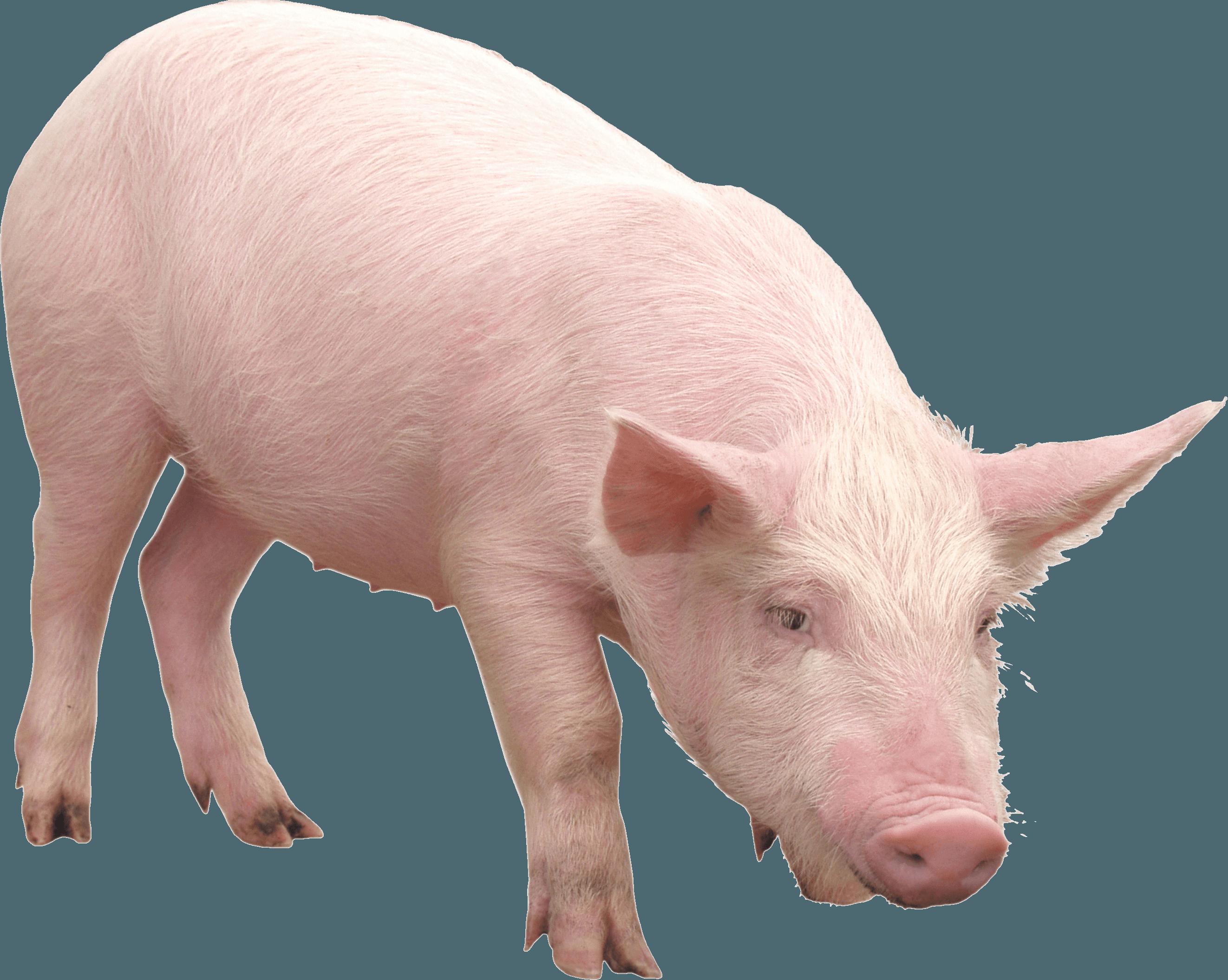 pink pig PNG Image.