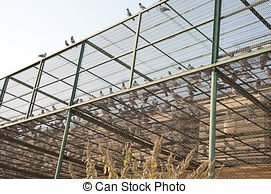 Pictures of pigeon breeding 15.