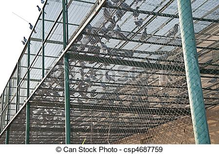 Stock Photographs of pigeon breeding 6.