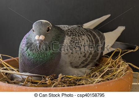 Stock Photographs of speed racing pigeon bird in breeding dish.