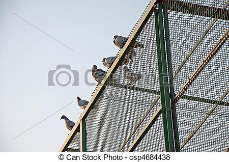 Pictures of pigeon breeding 4.