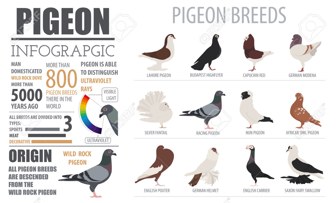 Poultry Farming Infographic Template. Pigeon Breeding. Flat Design.