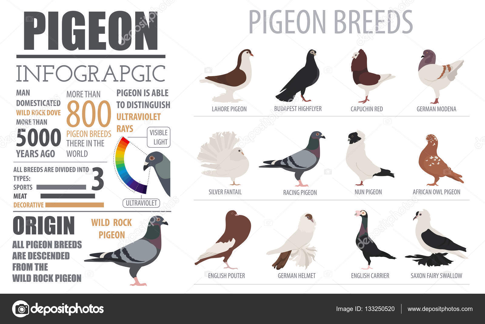 Poultry farming infographic template. Pigeon breeding. Flat desi.