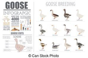 EPS Vector of Poultry farming infographic template. Pigeon.