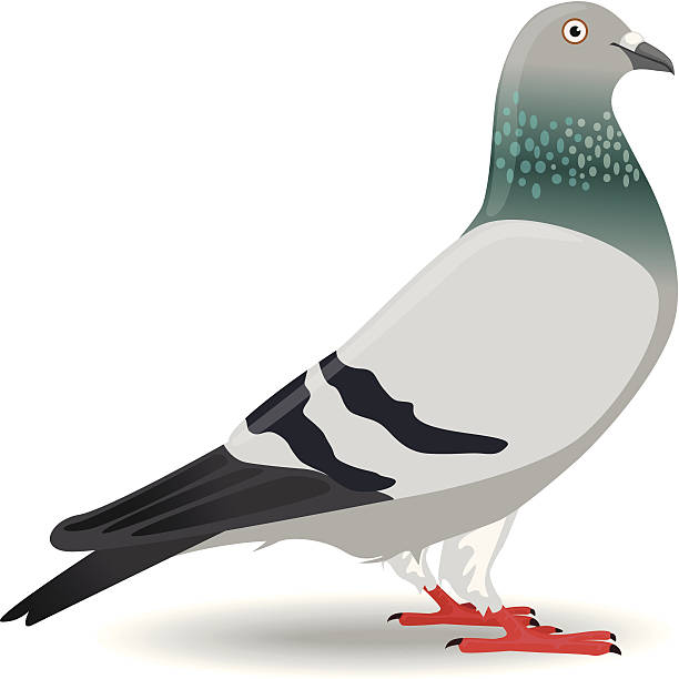 Pigeon clipart 5 » Clipart Station.