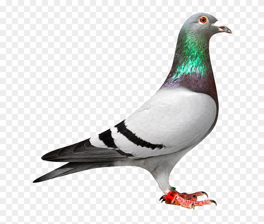 Pigeon Clipart.